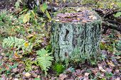 Old moss-covered stump.