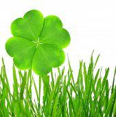 Fresh dewy green grass with clover leaf