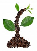 Plant from coffee grains and leaves