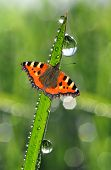 dew drops and butterfly