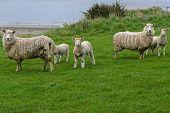 Alert Sheep