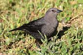 Female Brewers Blackbird