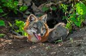 Grey Fox (urocyon Cinereoargenteus) Vixen And Kit Sniffing