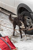 Sled Dog Chained By Truck Barks