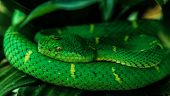 Side-striped pit viper (bothriechis lateralis)