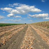 Agricultural Scene, Onion In Field After Harvest