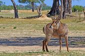 Male Waterbuck in Hwange
