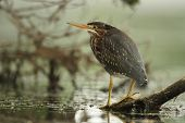 Juvenile Green Heron Perched On A Floating Log