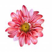 Mona Lisa flower, Red flower, Spring flower.Isolated on white background.