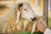 Kid feeding sheep in the farm ,Thailand