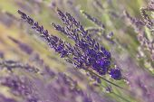 pic of lavender field  - Growing lavender flower In a field at sunset  - JPG