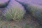 foto of lavender field  - Rows of lavender in lavender field at sunset - JPG