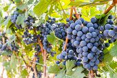 image of grape  - Grape farm Ripe dark grapes with leaves ready to be harvestedin Thailand - JPG