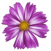 image of cosmos flowers  - Studio Shot of Fuchsia Colored Cosmos Flower Isolated on White Background - JPG