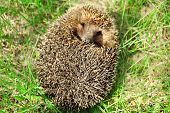 picture of crew cut  - Hedgehog on green grass outdoors - JPG