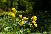 stock photo of cowslip  - yellow flowers italmas on a green meadow - JPG
