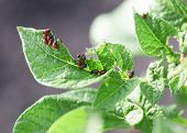 picture of potato bug  - mature colorado beetle on the potato bush