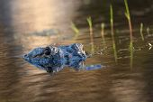 stock photo of bayou  - American alligator mostly submerged in the shallow water of a Florida wetland
