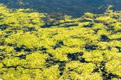 foto of algae  - The sea is filled with green algae containing lots of bubbles - JPG