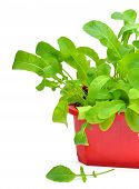 image of rocket salad  - Fresh green rocket salad in the flowerbad isolated on white - JPG