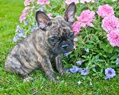 picture of french bulldog puppy  - Very cute French Bulldog puppy that looks very sad and sorry about something sitting outdoors with flowers around her - JPG
