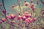 pic of magnolia  - magnolia branch with pink flowers against the sky in vintage style - JPG