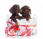 picture of dachshund  - couple puppies dachshund chocolate colors - JPG