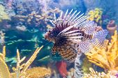 stock photo of lion-fish  - Pterois commonly known as lionfish is a genus of venomous marine fish found mostly in the Indo-Pacific.