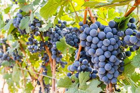 pic of grape  - Grape farm Ripe dark grapes with leaves ready to be harvestedin Thailand - JPG
