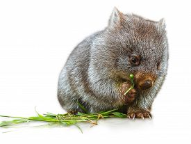picture of wombat  - Little wombat female 3 months. Isolated on white background. Family of Wombat, mammal, marsupial herbivore that lives in Australia and Tasmania.