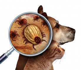 foto of parasite  - Pet Tick as a group of dog and cat ticks in the fur as a close up magnifcation of a female parasite engored with blood from the host as a veterninary health care symbol for dangerous disease causing insect pests - JPG