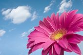 stock photo of single flower  - Violet Daisy gerber looking at the sky in a wonderful sunny day in spring - JPG
