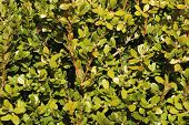 Sunlit Closeup Of Boxwood Leaves For Background