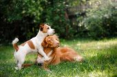 Dog Jack Russell Terrier And Dog Nova Scotia Duck Tolling Retriever Walking poster