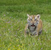 picture of tiger cub  - Tiger cub in deep grass and yellow flowers