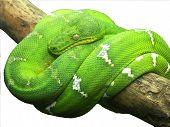 Green Boa1