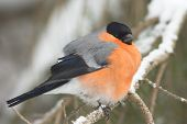 A male of bullfinch in winter  (Pyrrhula pyrrhula)