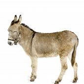 foto of jack-ass  - donkey in front of a white background - JPG