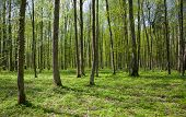 Deciduous Stand Of Bialowieza Forest Landscape Reserve At Sunny Springtime Day