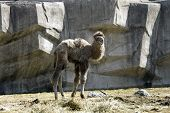 pic of camel-cart  - A baby camel newborn only a few days old - JPG