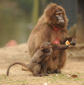 Babuino Gelada Animal de zoológico