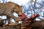 African Leopard Eating