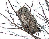 Owl  (Callard Scops Owl) (Otus Bakkamoena) 1
