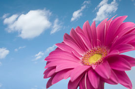 picture of single flower  - Violet Daisy gerber looking at the sky in a wonderful sunny day in spring - JPG