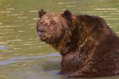 a brown bear resting in water / Ursus arctos