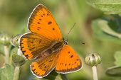 Lycaena dispar / large cooper butterfly, female