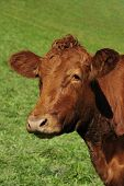 Red Poll Cow Portrait