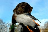 foto of duck-hunting  - Labrador Retriever holds mallard duck in his mouth - JPG