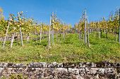 Young Grapevines In A Vineyard