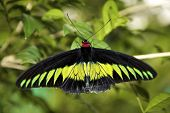 The Swallowtails and Birdwings (Papiliondae)